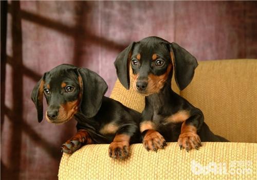 犬肉毒梭菌中毒症的治疗原则-狗狗常见病