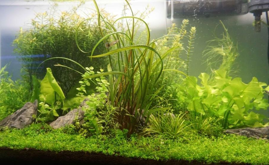 水族箱水草溶叶的原因及解决方法